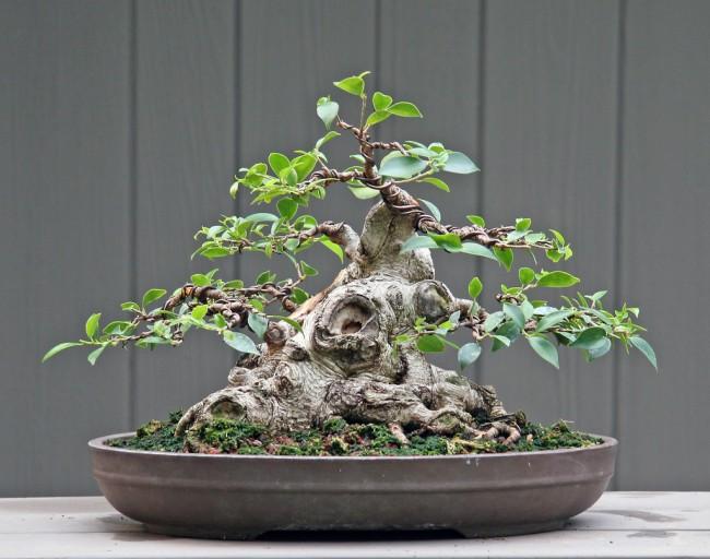 Фикусы разновидности с фото и названиями. Бонсаи из фикуса microcarpa (фикус-женьшень) с распускающимися листьями
