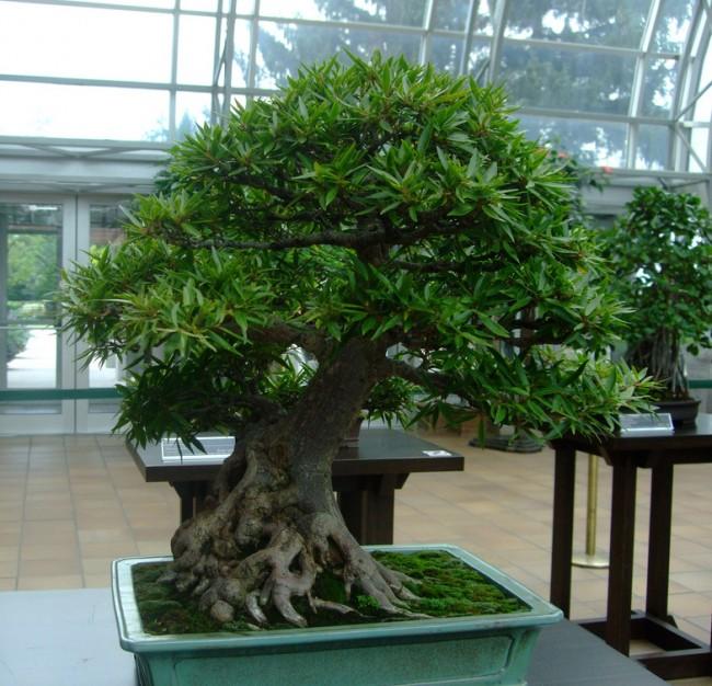 Фикусы разновидности с фото и названиями. Фикус баньян - особая форма роста фикуса, когда ствол утолщается и распространяется книзу. Именно так разрастаются в дикой природе фикусовые деревья