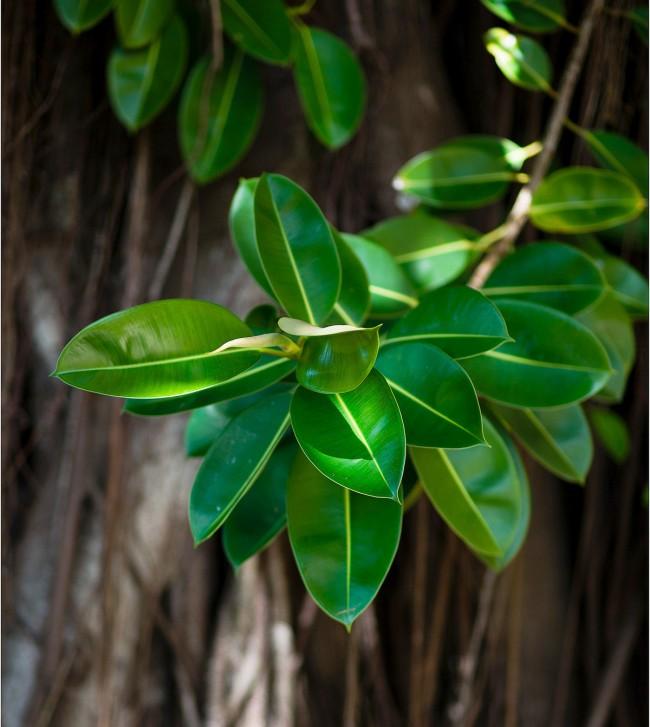 Фикусы разновидности с фото и названиями. Листья Ficus elastica - небольшие и заостренные на концах, глянцевые, упругие