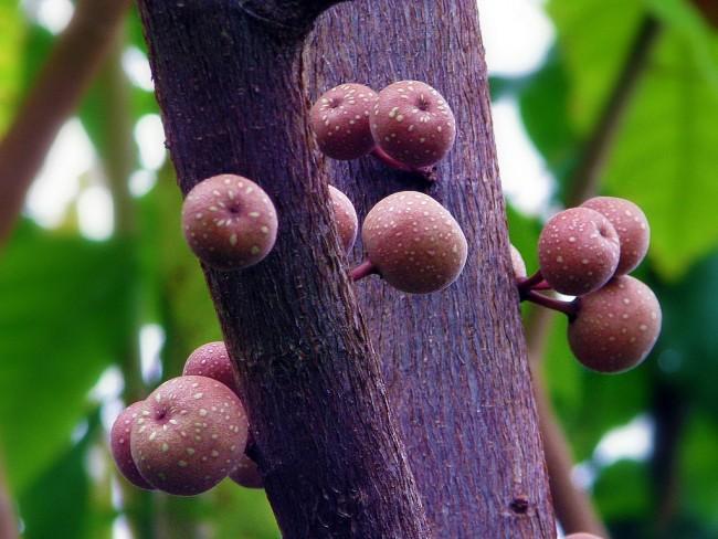 Фикусы разновидности с фото и названиями. Плоды фикуса: фото из ботанического сада. В домашних условиях цветение у фикусов не наступает