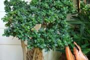 Фото 29 Фикусы (60+ фото видов с названиями): уход в домашних условиях — советы опытных цветоводов