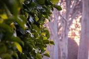 Фото 1 Фикусы (60+ фото видов с названиями): уход в домашних условиях — советы опытных цветоводов