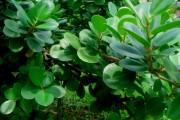 Фото 10 Фикусы (60+ фото видов с названиями): уход в домашних условиях — советы опытных цветоводов