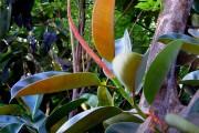 Фото 20 Фикусы (60+ фото видов с названиями): уход в домашних условиях — советы опытных цветоводов