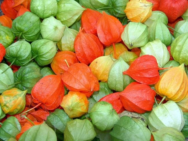 При полном созревании плода чашечка высыхает, и её цвет изменяется