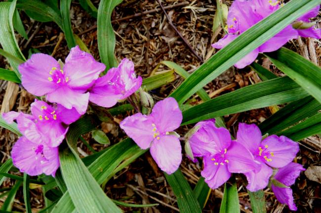 Цветы традесканции розового цвета