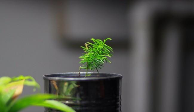 Посадить комнатный аспарагус можно из семян
