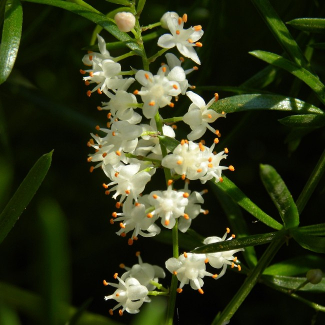 Цветы аспарагуса имеют очень приятный запах