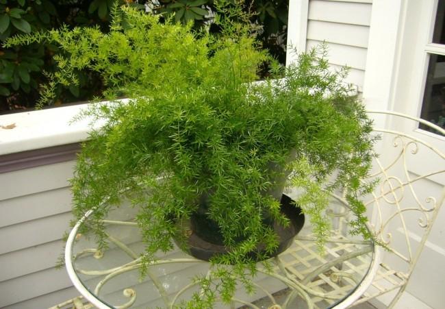 Аспарагус очень неприхотливое растение, подходит занятым людям и новичкам в цветоводстве