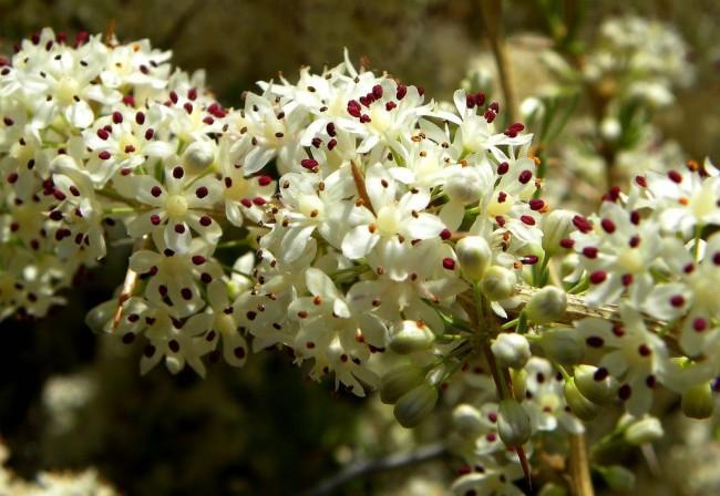 Аспарагус эфиопский цветет невероятно красивыми цветами