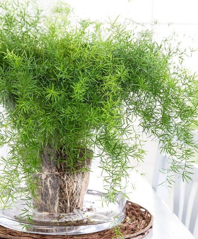При пересадке растение можно размножить делением куста
