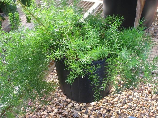 Растение выглядит очень воздушным, лёгким, напоминает маленькую ёлочку