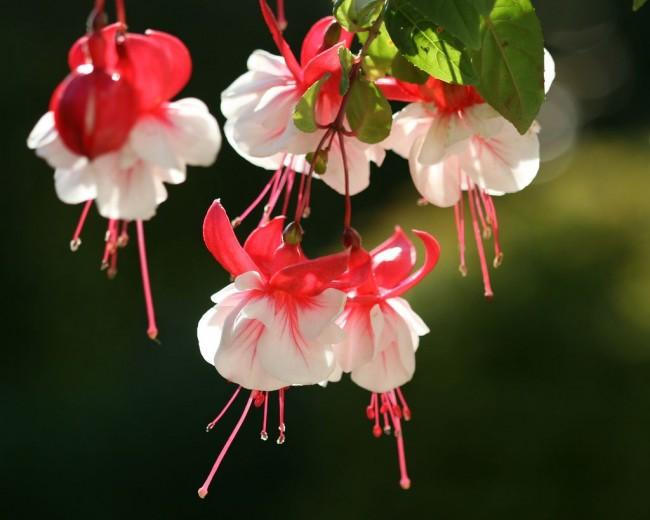 Среди огромного разнообразия сортов и расцветок каждый садовод может найти свою любимую фуксию