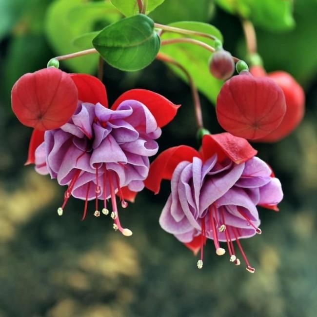 Цветки фуксии вызывают восторг и восхищение