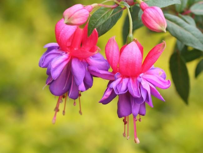 Фуксия - невероятно яркий, красивый, нежный цветок
