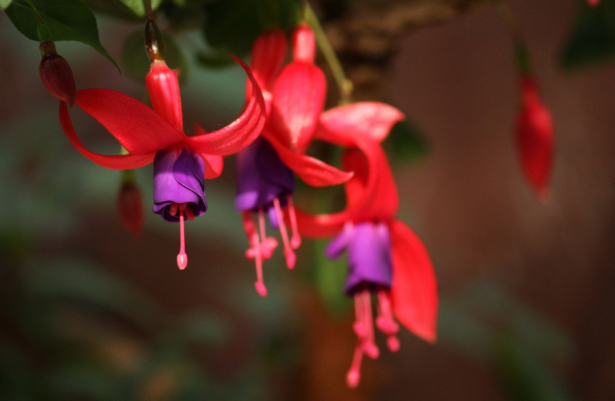 Фуксия фото цветов и как ухаживать