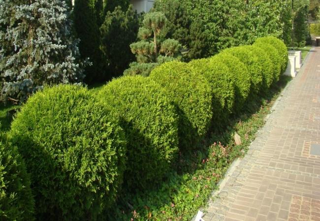 Строгость и способность хорошо выдерживать стрижку делают хвойную ограду желанным украшением сада