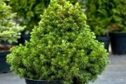 Фото 2 50+ идей хвойных деревьев в ландшафтном дизайне: фото, названия, способы размещения