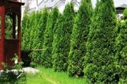 Фото 19 50+ идей хвойных деревьев в ландшафтном дизайне: фото, названия, способы размещения