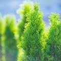 50+ идей хвойных деревьев в ландшафтном дизайне: фото, названия, способы размещения фото