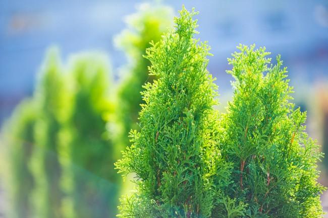 Хвойные деревья и кустарники незаменимы при озеленении и благоустройстве территории