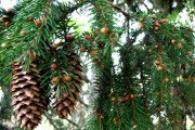 Фото 11 50+ идей хвойных деревьев в ландшафтном дизайне: фото, названия, способы размещения