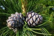 Фото 4 50+ идей хвойных деревьев в ландшафтном дизайне: фото, названия, способы размещения