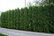 Фото 21 50+ идей хвойных деревьев в ландшафтном дизайне: фото, названия, способы размещения