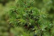 Фото 5 50+ идей хвойных деревьев в ландшафтном дизайне: фото, названия, способы размещения