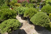 Фото 24 50+ идей хвойных деревьев в ландшафтном дизайне: фото, названия, способы размещения
