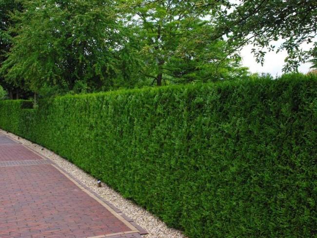 Живая изгородь из хвойных должна находиться с северной стороны участка, чтобы не создавать в саду тень и защищать его от ветра и снега зимой