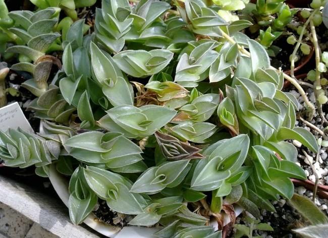 Это пестрое ампельное растение украсит любой дом
