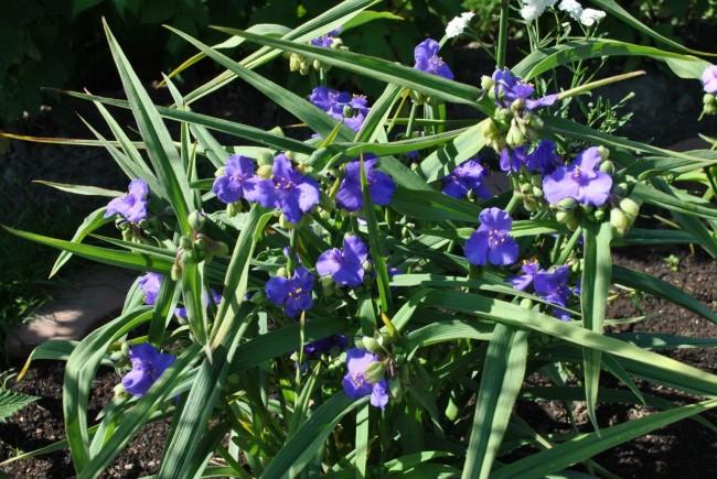 Традесканция Виргинская цветет яркими фиолетовыми цветами