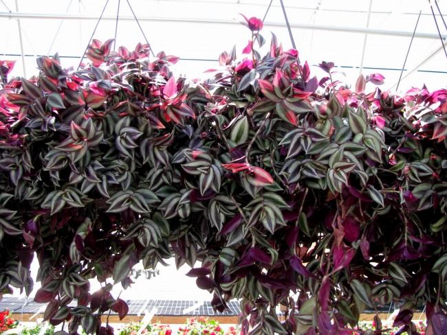 Традесканция отлично подходит для выращивания в подвесных кашпо, так как имеет длинные гнущиеся побеги