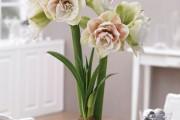 Фото 16 Амариллис: цветущая роскошь на вашем подоконнике
