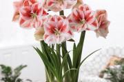 Фото 17 Амариллис: цветущая роскошь на вашем подоконнике