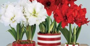 Амариллис: цветущая роскошь на вашем подоконнике фото