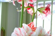 Фото 19 Амариллис: цветущая роскошь на вашем подоконнике