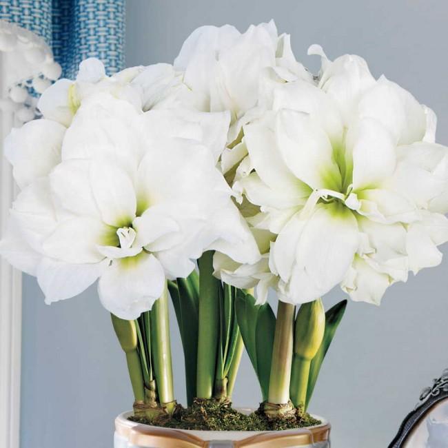 Размер цветков - 6—10 см в диаметре , состоят из 2-12 лепестков