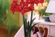 Фото 9 Амариллис: цветущая роскошь на вашем подоконнике