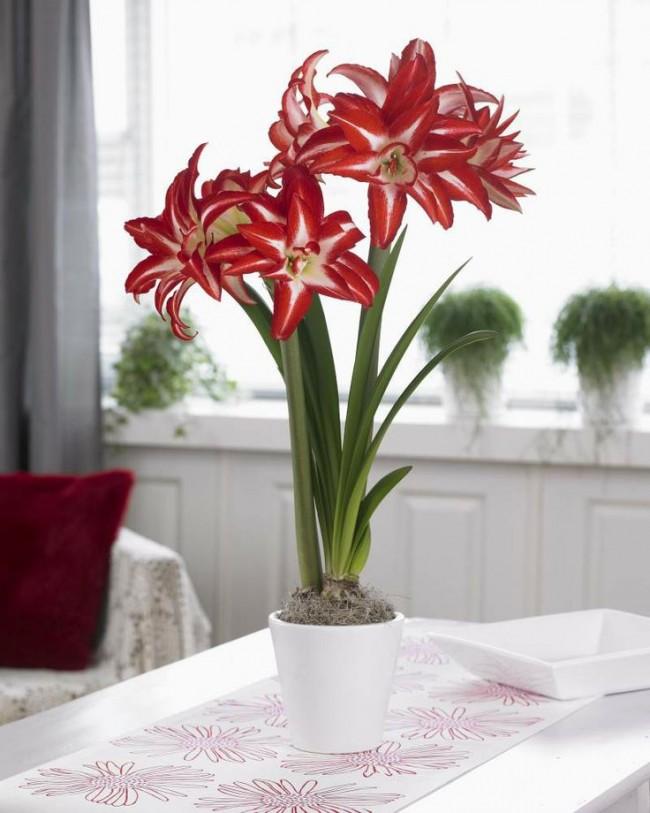Изысканный цветок красного цвета с вытянутыми лепестками