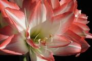 Фото 4 Амариллис: цветущая роскошь на вашем подоконнике