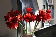 Фото 5 Амариллис: цветущая роскошь на вашем подоконнике