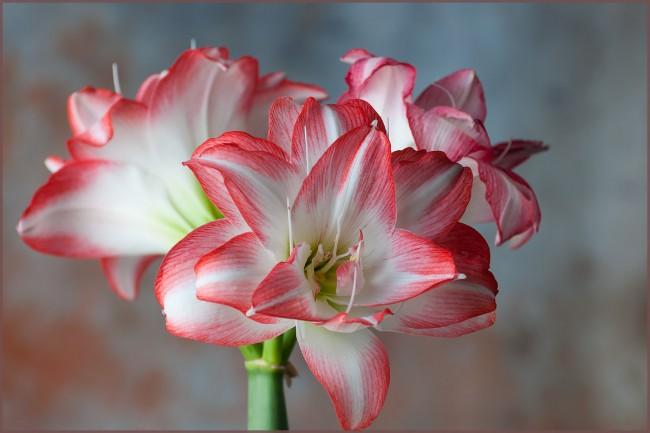 "Амариллис также известен как белладонна лилия или ""прекрасная дама"""