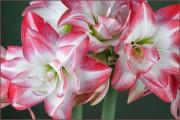 Фото 1 Амариллис: цветущая роскошь на вашем подоконнике