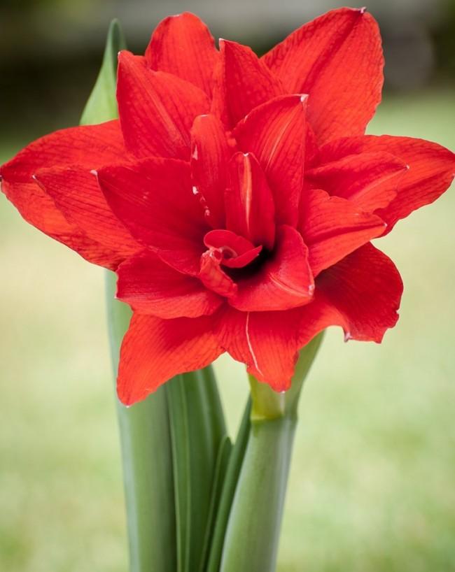 Цветение амариллиса бывает белого, розового или красного цветов