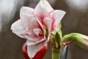 Фото 6 Амариллис: цветущая роскошь на вашем подоконнике