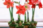 Фото 15 Амариллис: цветущая роскошь на вашем подоконнике