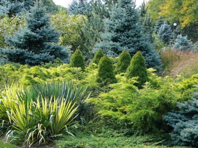 Красивое сочетание голубых елей с зелеными и желтыми туями