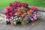 Фото 9 55 фото бальзамина: уход в саду и в домашних условиях